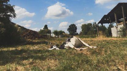"""Landbouwer is zwerfvuil beu en deelt dramatische foto van dode koe: """"Dit dier kiest hier niet voor, maar jullie wel"""""""