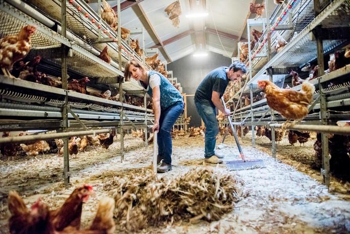 Kippenboeren maken de stallen schoon van fipronil.