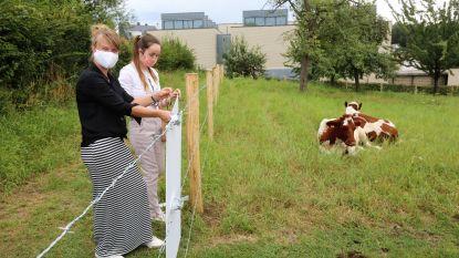 """Opnieuw koeien in boomgaard Felix De Boeck: """"Fijn dat ik Mondriaan ontmoet heb maar nu ga ik naar huis om voor mijn dieren te zorgen"""""""