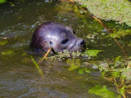 Verdwaalde zeehond dobberde ook rond in Nieuwveen