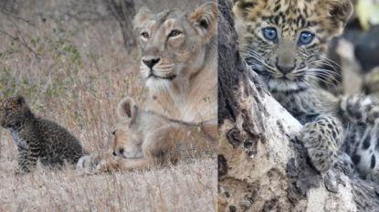 Luipaardwelpje wordt geadopteerd door leeuwin, maar sterft uiteindelijk toch aan geboorteafwijking