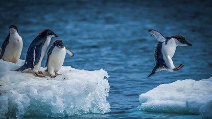 Pinguïns in zwaar weer: slechts 2 kuikens van 40.000 tellende kolonie overleven