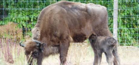 Niet iedereen is bang voor wolf: ouders wisent-kalfje jagen roofdier simpel weg