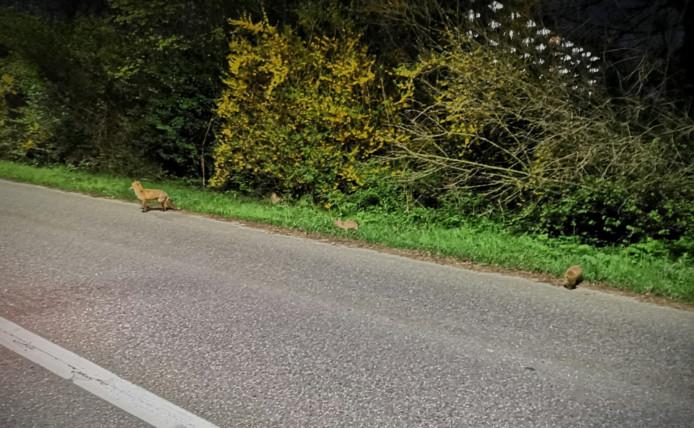 Aan de rand van de Couwenhoekseweg zagen agenten een moedervos met drie kleintjes.