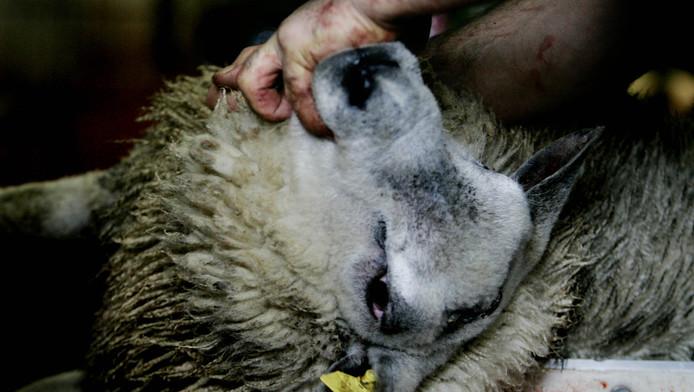 Foto ter illustratie: een schaap bij de slager voor het geslacht wordt.
