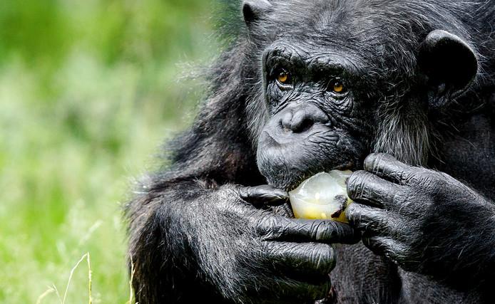 Ook in Burgers' Zoo worden apen wel eens getrakteerd op een gezond ijsje