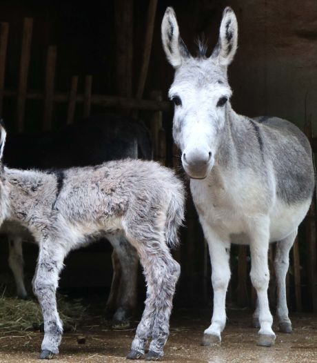Mini-ezeltje geboren in DierenPark Amersfoort