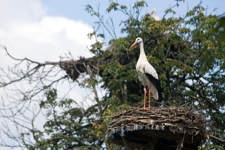 Een ooievaar op een nest. Beeld ANP