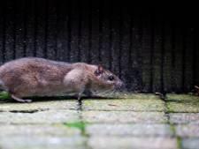 Huurdersvereniging: ratten trippelen door Gouderak