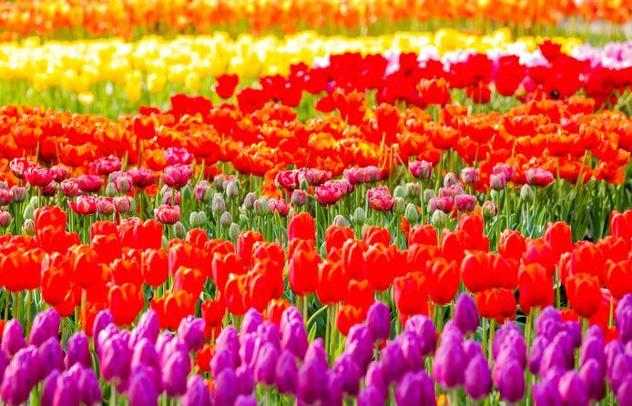 Tulpen ter illustratie.
