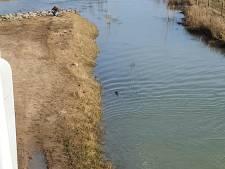 Otter zwemt brutaal een rondje bij de Wilhelminabrug