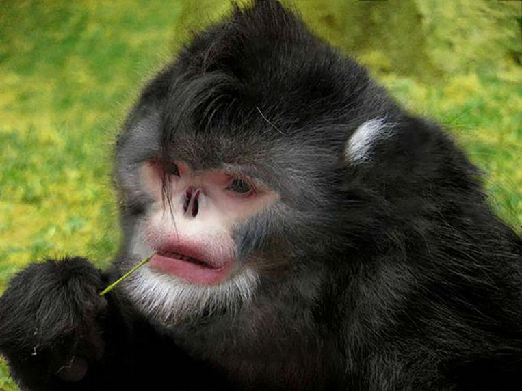 Een van de opvallendste pas ontdekte dieren is de Myanmarese stompneusaap, die niesgeluiden maakt als er water in zijn neus loopt.