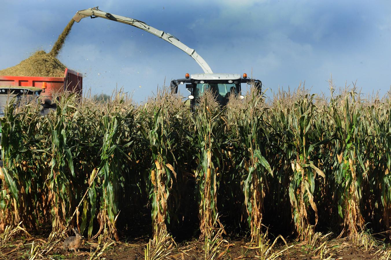 Ook de maisoogst maakt onderdeel uit van alle activiteiten in AgriFood Capital, de organisatie die moet zorgen voor het stimuleren van alle economische activiteiten die samenhangen met de productie van voedsel en andere agrarische producten.