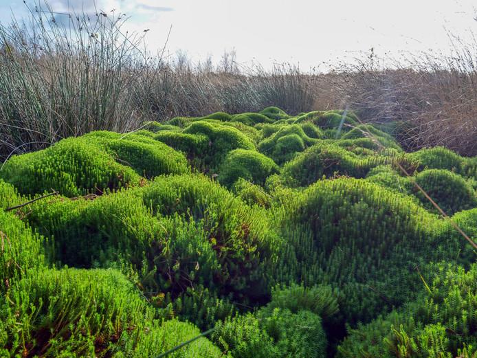 Hoogveen in het Haaksbergerveen. Hoogveennatuur is zeer stikstofgevoelig.