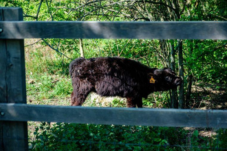De Galloway-runderen zijn teruggekeerd naar het fort van Borsbeek. Deze keer zijn ze in het gezelschap van kalfje  Olivia.