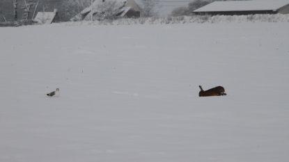 SNEEUW: haas en meeuw zorgen voor wintertafereel
