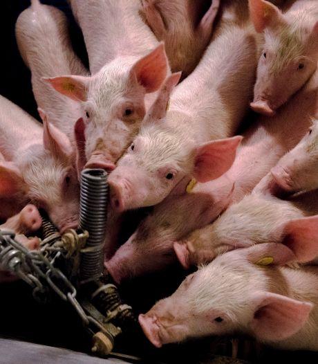 Varkens op het potje en ze daarvoor belonen;  het zijn net mensen