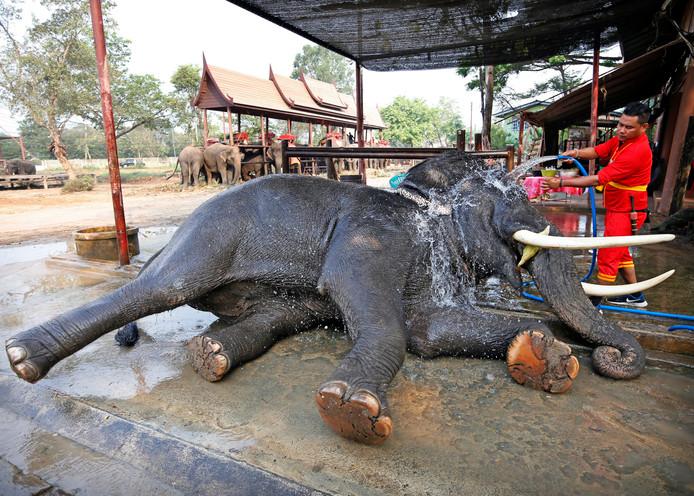 Een Thaise verzorger geeft een olifant een wasbeurt tijdens de jaarlijkse National Elephant Day in een natuurpark in Ayutthaya. Foto Rungroj Yongrit