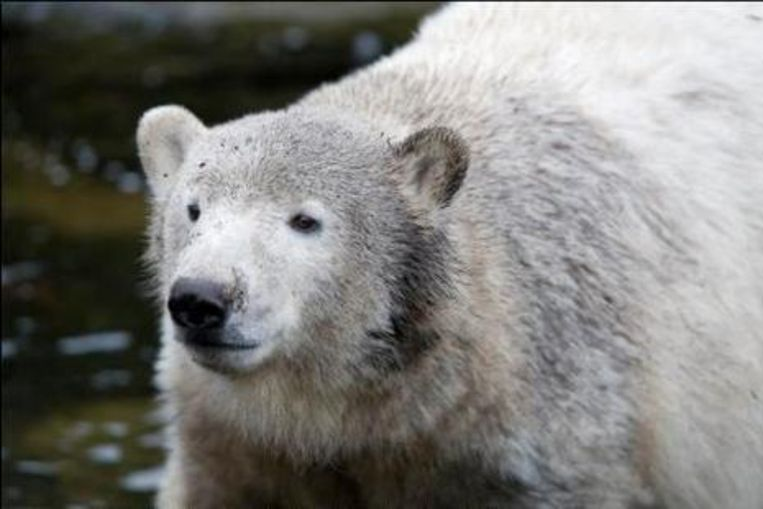 Knut is intussen flink gegroeid.