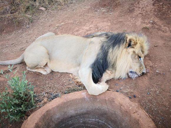 Eén van de leeuwen die gedood werd.