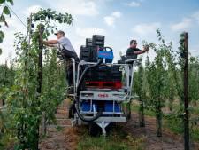 Warm weer en stuntprijzen: fruitteler Slijk-Ewijk maakt vaart met pruimenpluk