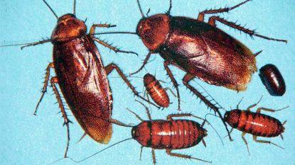 DNA kakkerlakken verklaart waarom ze zich zo graag nestelen op vieze plaatsen
