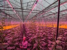 Deze Brabantse kwekerij heeft een dubbele komkommeroogst dankzij ledlicht