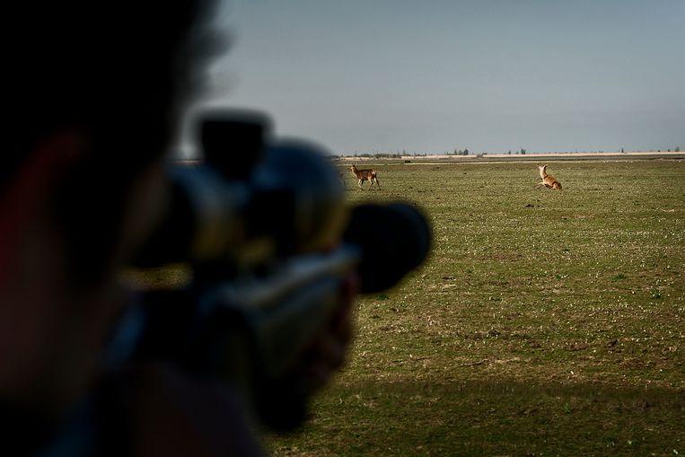 Maandag werden de eerste drie herten in de Oostvaardersplassen afgeschoten om de populatie te verkleinen. Beeld Hollandse Hoogte / Olivier Middendorp