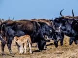 'Geef dieren Oostvaardersplassen de prikpil'