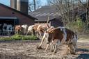 Bij boer Bert Smallegoor in Doetinchem zijn woensdagmorgen de koeien weer naar buiten gegaan.