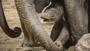 VIDEO: Wat een schattige beelden. Opnieuw olifantje geboren in Pairi Daiza