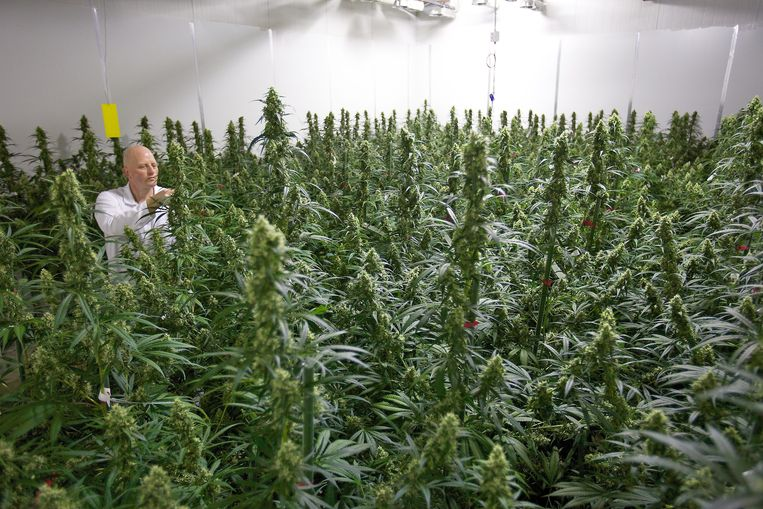 In Nederland wordt al langer medicinale cannabis verbouwd.