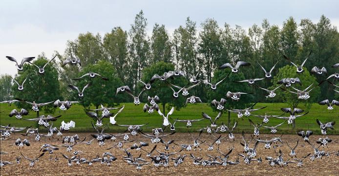 Grauwe ganzen broeden met tientallen tegelijk langs de Rondweg in Houten.