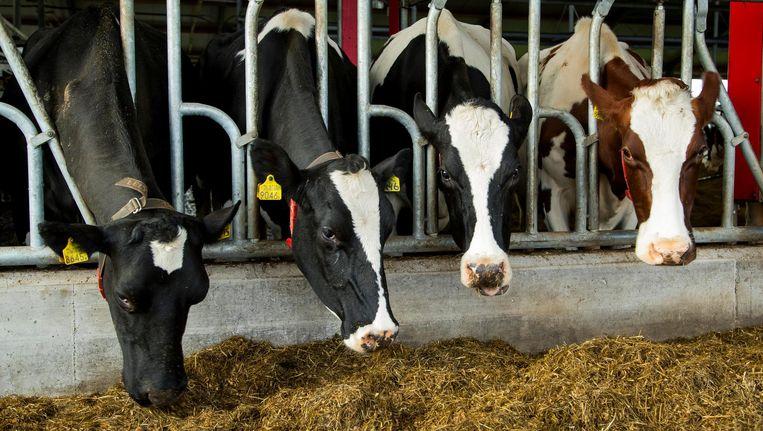 Koeien in de stal bij een melkveehouderij. Beeld anp