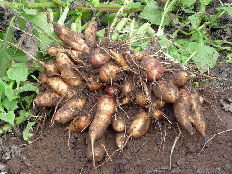 Yacon is één van de nieuwe gewassen die worden geteeld op de tuinbouwschool in Melle.