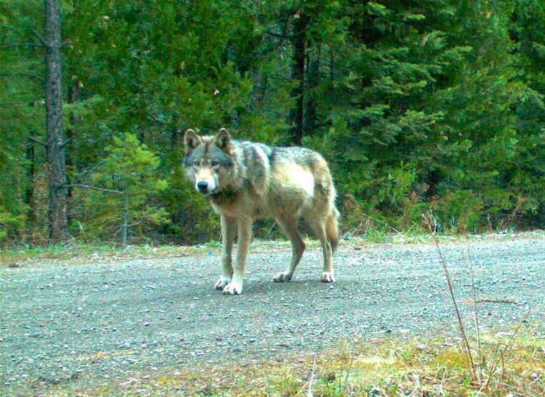 Wolf OR-7, de papa van de overleden wolvin.