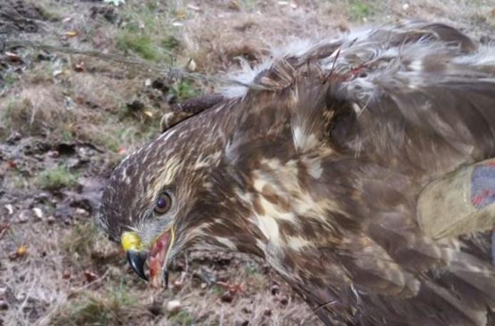 De buizerd raakte gewond aan zijn vleugels.