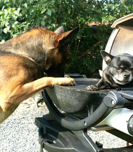 Politiehond Bumper geniet van lui weekend bij de barbecue