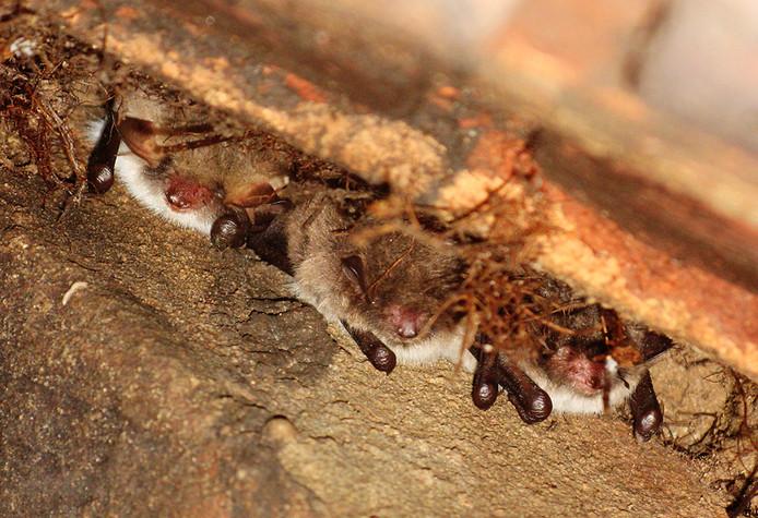 """Het aantreffen van zogenoemde 'franjestaart'-vleermuizen op boerenerven in de regio was onverwacht, volgens de onderzoekers. ,,Deze soort komt veelal in bosrijkere omgeving voor."""""""