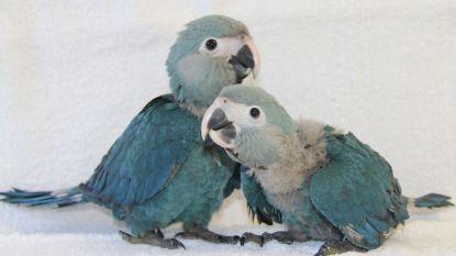 Papegaai uit 'Rio' weer in het wild dankzij Pairi Daiza