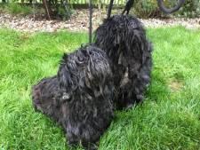 Twee zwaar verwaarloosde hondjes gedumpt in Beatrixpark: dit doet zo'n pijn