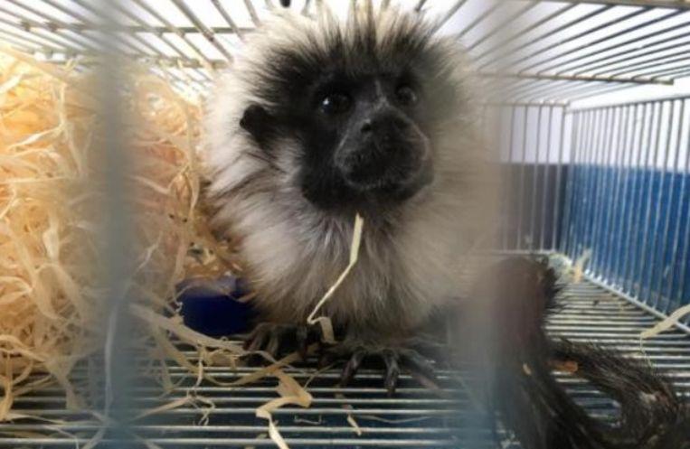 Bij de aangetroffen dieren zat onder meer een Liszt-aapje.