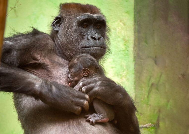Gorillavrouwtje Mayani beviel in november. Volgende week weten we hoe de gorillababy in de Zoo heet.