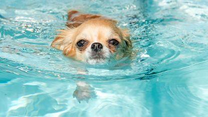 Mag je hond eigenlijk in het zwembad spelen?