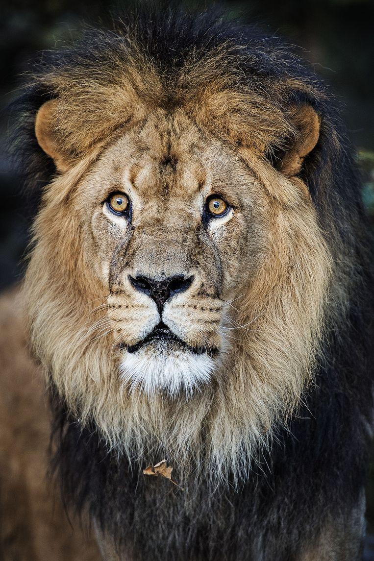 Caesar, de koning der dieren in Artis. Beeld null