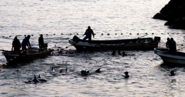 Japanse vissers vangen dolfijnen in een baai in Taiji. ANP Beeld