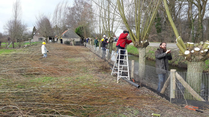 Wilgen knotten bij de Groene Grens tussen Ede en Veenendaal