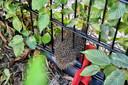 Het egeltje zat klem in een stalen hek in Oisterwijk