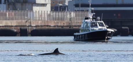 Des baleines refusent de quitter un loch écossais avant un important exercice militaire