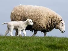 Trailer met schapen in de sloot bij Sint Annaparochie, meerdere schapen dood
